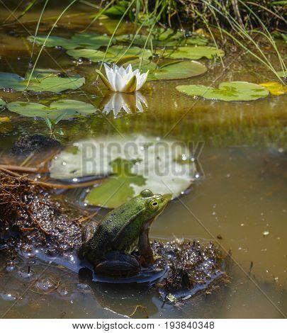 rana esculenta - common european green frog poster