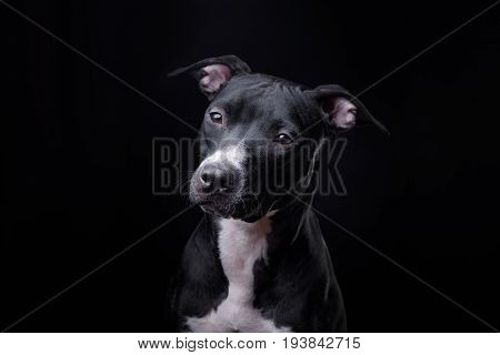 The Dog Is A Pit Bull Terrier Posing In Studio