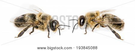 bee drones - Apis mellifera - macro photo