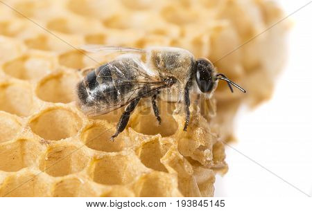 bee drone - Apis mellifera - macro photo