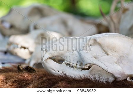 Close-up skull of an animal outdoors with blurry background and skulls.