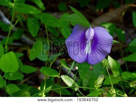 Purple spurred butterfly pea vine in full bloom, flowering on it's vine.