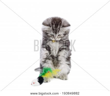 Beautiful gray kitten playing with mice toy