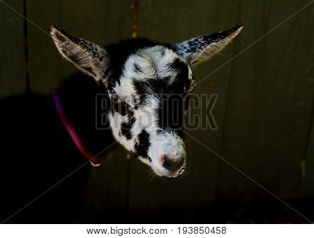 Baby dwarf Nigerian goat, close up of black and white face against dark barnyard background