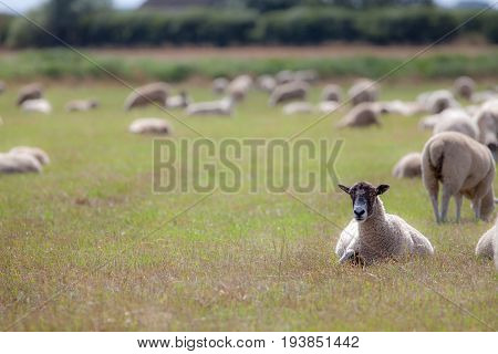 Sheep in a field. Rural agricultural scene of grazing farm animals with copy space. Focus on foreground ewe lying down.
