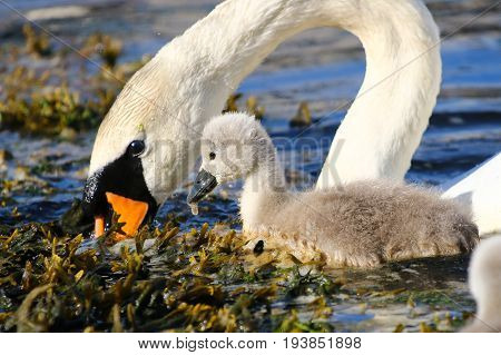 A mute swan cygnet and it's mother feeding on floating vegetation