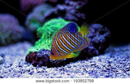 Regal Angelfish in saltwater reef aquarium tank poster