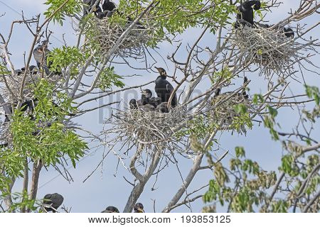 Double Crested Cormorants in a Nesting Tree on Grotto Lake in Fergus Falls Minnesota