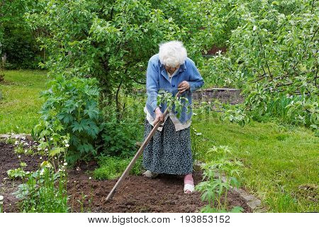 The Old Woman With A Chopper Works In A Kitchen Garden