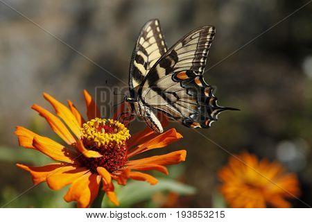 The Eastern Tiger Swallowtail butterflies fly away.