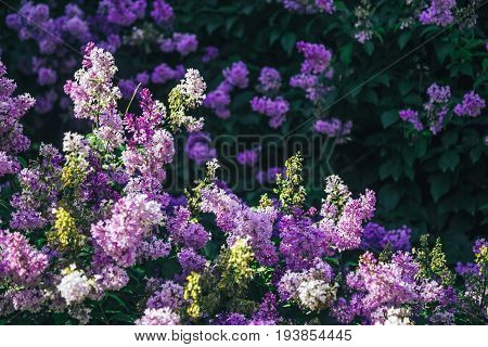 Beautiful fresh purple violet flowers. Close up of purple flowers. Spring flower, a branch of lilac. Lilac bush, lilac background. Branch with summer lilac flowers.