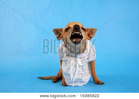 a tiny chihuahua dressed up in a tiny dress