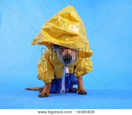 a tiny chihuahua with a rain coat on with focus on his nose poster