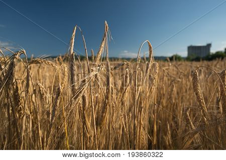 Barley crop field with grain silo in the background