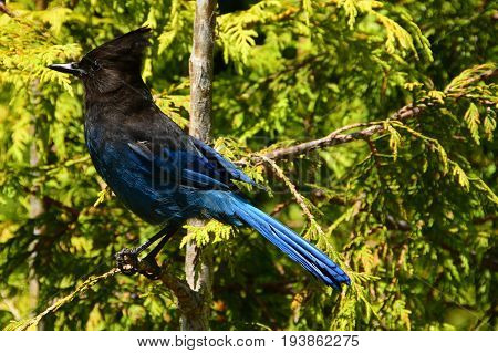 A pretty stellars jay perched on a branch in the forest.