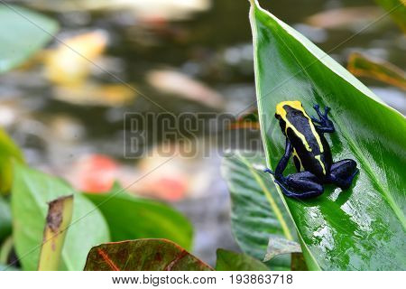 A small poison dart frog sits on a leaf in the gardens.