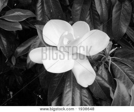 Blk White Magnolia Hendersonville