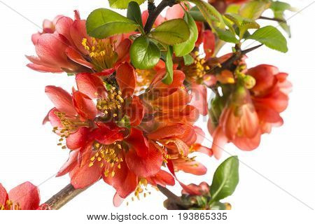 Japanese Quince Chaenomeles japonica isolated on white
