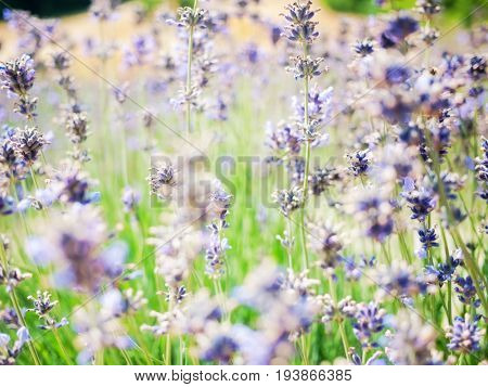 Beautiful organic lavender background on green and violet hue. Concept: organic, relax, purity
