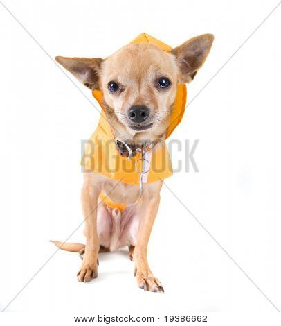 a chihuahua with a rain coat on poster