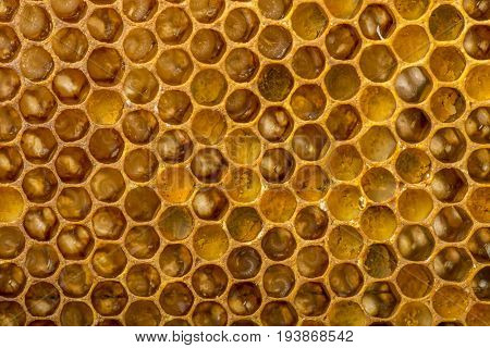 honey comb with pollen bee eggs and bee nymphs