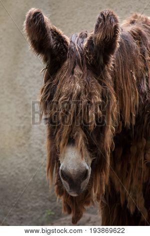 Poitou donkey (Equus asinus), also known as the Poitevin donkey.