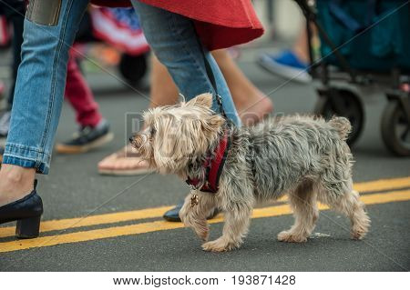 Patriotic Terrier mixed breed dog walking on street parade with stars and stripes bandana around neck.