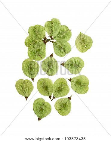 Pressed and dried flowers elm. Isolated on white background. For use in scrapbooking floristry (oshibana) or herbarium.
