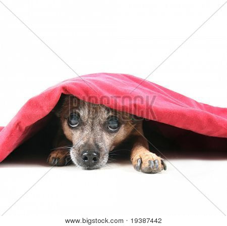 a chihuahua mix dog under a red blanket poster