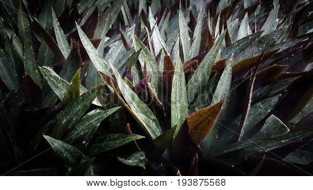 Moses in the Cradle  tradescantia, oyster, spathacea, background