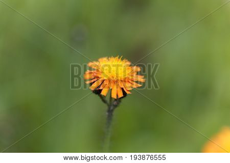 Flower of an orange hawkweed (Pilosella aurantiaca)