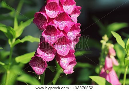 Pink Digitalis or foxgloves plant flowers in garden .