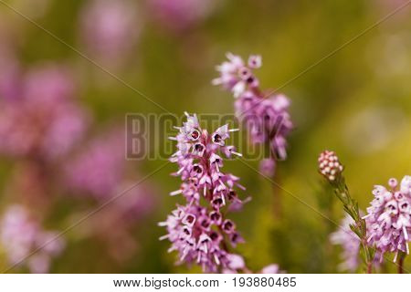 Flowers of a spike heath (Bruckenthalia spiculifolia)