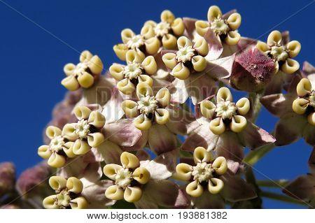 Broad Leaved Wild Cotton Bush flower weed against a blue sky macro