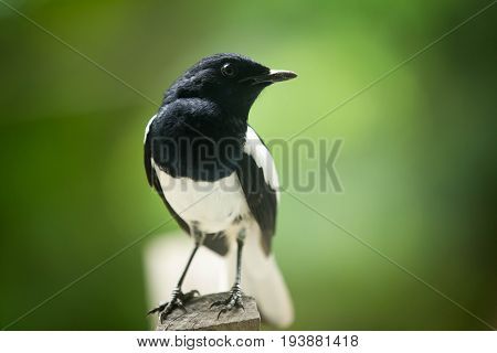 Magpie the beautiful black and white bird perching the branch