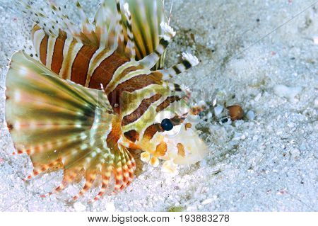 A juvenile Lion fish spotted on the sandy South east asia Indo-pacific ocean.