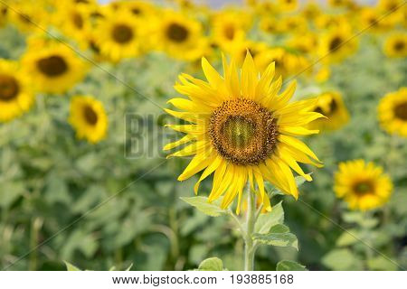 Landscape of Sunflowers garden or field. This flowers have abundant health benefits improves skin health and promote cell regeneration. Background and copy space.