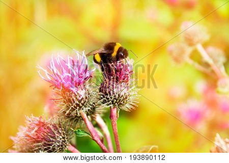 Bumblebee close-up collects pollen from a flower