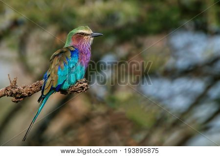Lilac-breasted roller or Coracias caudatus perching on a branch of tree in savanna