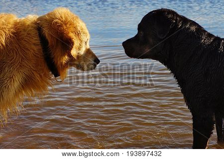 Two Dogs Stand Opposite In The Water, Confrontation, Different Breeds