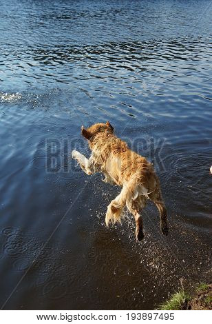 Top View Of Dog Golden Retriever Dives Into The Forest Lake Shore With A Running, A Moment Before Im