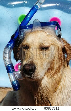 Golden Retriever, Wet After Bathing In The Mask And Inflatable Tube, Blue Airbed In The Background
