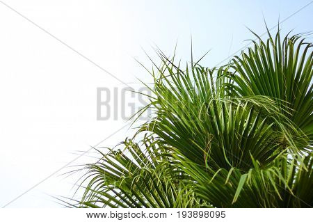 Palm Tree Crown on the Bright Sky Background. Summer Vacation Concept.