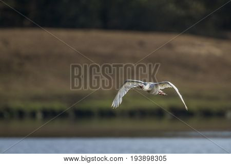 African spoonbill in Kruger national park, South Africa ; Specie Anastomus lamelligerus family of Ciconiidae