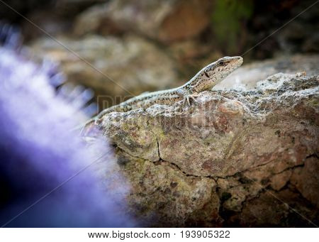Iberian Wall Lizard - (Podarcis Hispanica) inhabiting the grounds of the Alhambra Palace and fortress located in Granada Andalusia Spain.