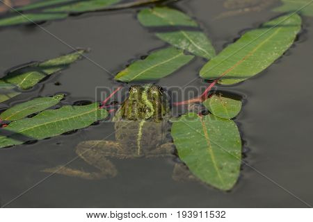 A frog in the water between leaves