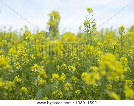 closeup of rapeseed flowers in field in noord brabant