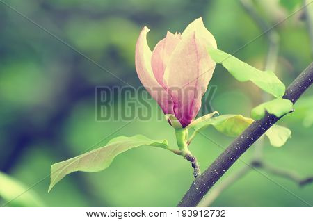 Blossoming of pink magnolia flowers in spring time, floral seasonal background