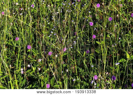 Mimosa pudica with flower at field countryside in Thailand