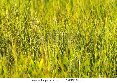 The green grass with yellow background in field at Mukdahan Nation Park Thailand.